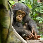 Disneynature's CHIMPANZEE Coming To Theaters April 20th